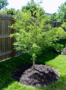 Tree and Shrub Care - Bald Cypress Tree